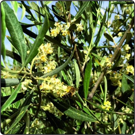 Abeja en olivo